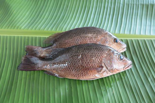 Frozen Fish Seafood Whole Round Red Snapper 1